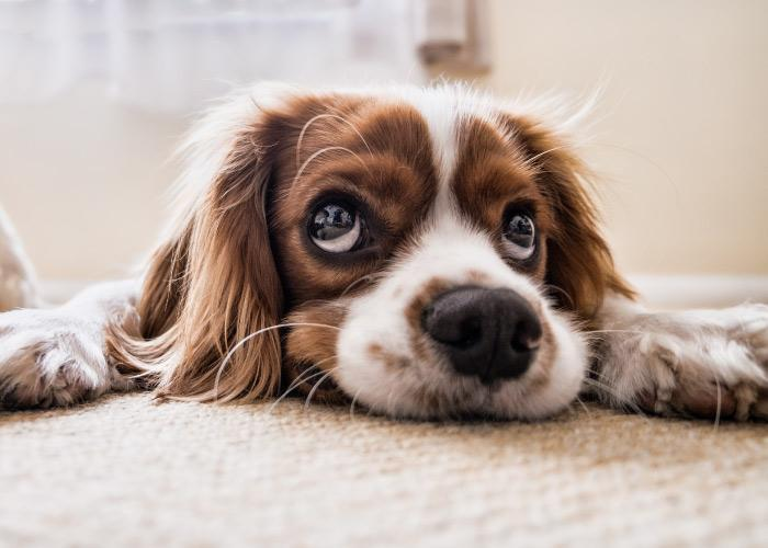 Close-up view of brown and white spaniel dog laying on the carpet looking up with sad puppy dog eyes